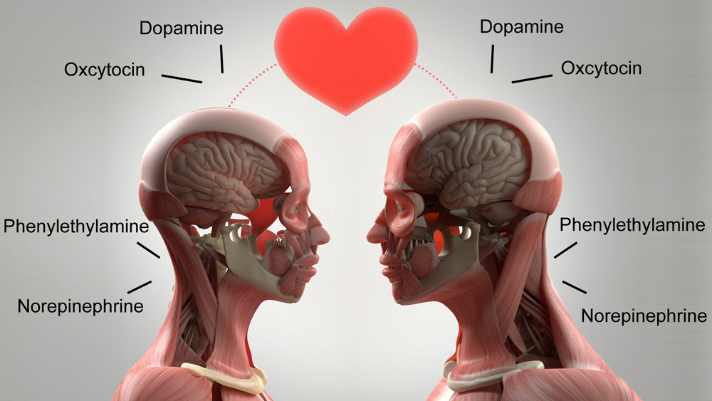 Love and lust chemicals released into the brain